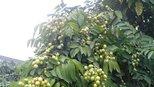"""这东西长在树上像""""青枣"""",市面上卖80一斤,有谁认识吗?"""