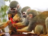 """饲养员给猴子发""""美食红包"""""""