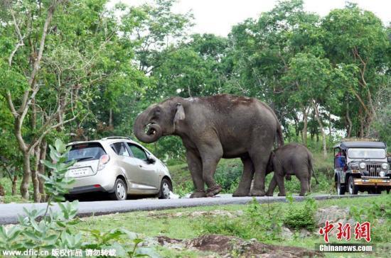 资料图:大象。图片来源:东方IC 版权作品 请勿转载 据外媒报道,摩洛哥一家动物园里的一头大象用鼻子扔石头,一名7岁女孩被击中头部身亡。 摩洛哥拉巴特动物园里的大象园用栅栏和水沟与游人隔开,但动物园的一位发言人说,大象扔出的石头飞过了栅栏。小女孩被送入医院几小时后不治身亡。 动物园发表的声明说,动物园的设置符合国际标准,发生这样的事故是非常罕见和无法预测的。 动物园的声明中还指出,最近在美国弗罗里达的迪斯尼公园,也发生了鳄鱼把一名2岁男童咬死的事故。 从游客放到网络上的录像看,大象甩着鼻子,地上有石头