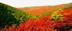 每到金秋十月,柿叶飘落图片
