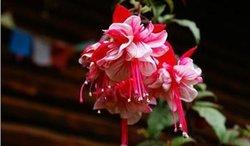 倒挂金钟是一受们喜的盆栽花卉