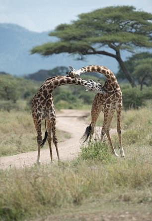 【转】北京时间     神角度!双头长颈鹿四条腿 - 妙康居士 - 妙康居士~晴樵雪读的博客