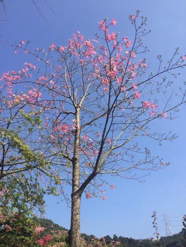 粉色香水百合一样 但是开在树上