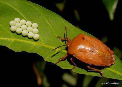 ?_這是什么蟲子 象是蝽蟓