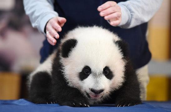 (文摘)旅美大熊猫母子分离后抓墙找宝宝   看哭美国网友 - aihua191 -    aihua191的 博 客