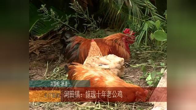 长汀县河田镇:十年老公鸡出现