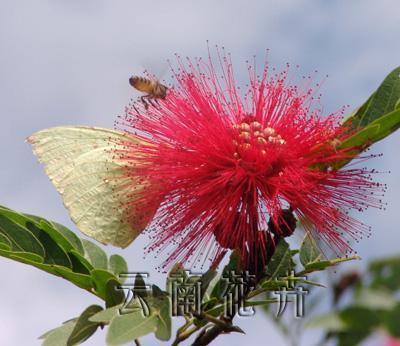 美蕊花-360百科