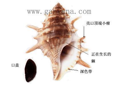 长棘蛙螺_360百科