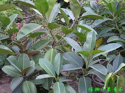 橡皮树因喜阳光,从春至秋都应放室外向阳处养护;如长时间放置在荫蔽处