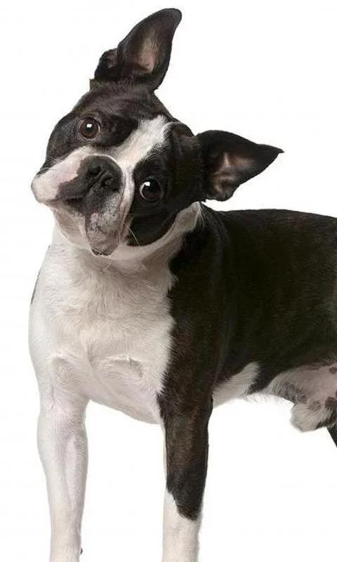 游戏 休闲益智 >波士顿梗拼图  狗是世界上最迷人和可爱的动物,他们