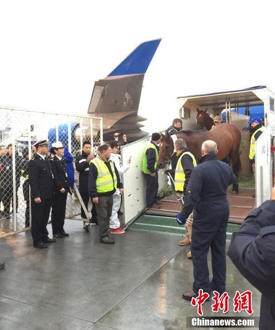 47匹阿联酋纯血马抵中国 海关放行 - 天地人 - 天地人和