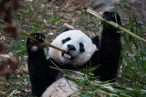 2月21日,大熊猫
