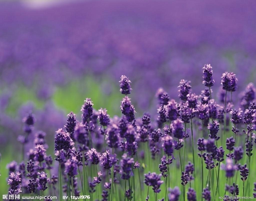 lavender图片