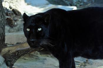 保育等级: 濒临绝种保育类野生动物  产地:亚洲南部,阿拉伯半岛和