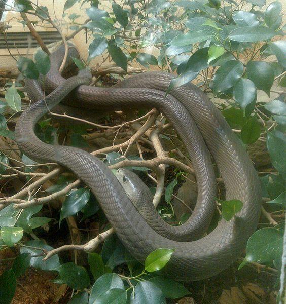 一只在伦敦动物园里的黑曼巴蛇.