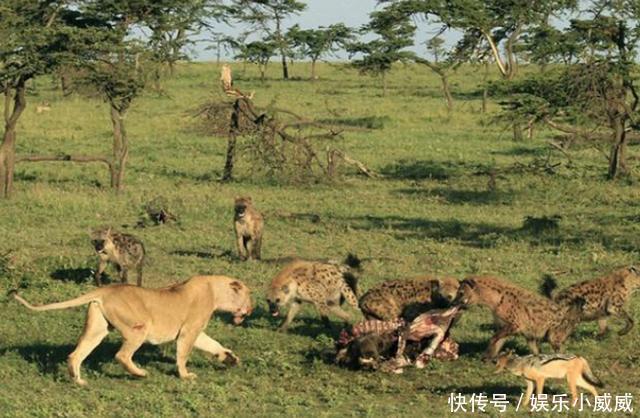 母狮想凭借自己霸主的地位与鬣狗群抢食,却没算到会是这结果!