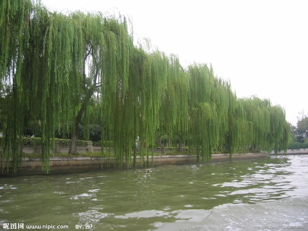 垂柳 柳树 树 1024_768图片
