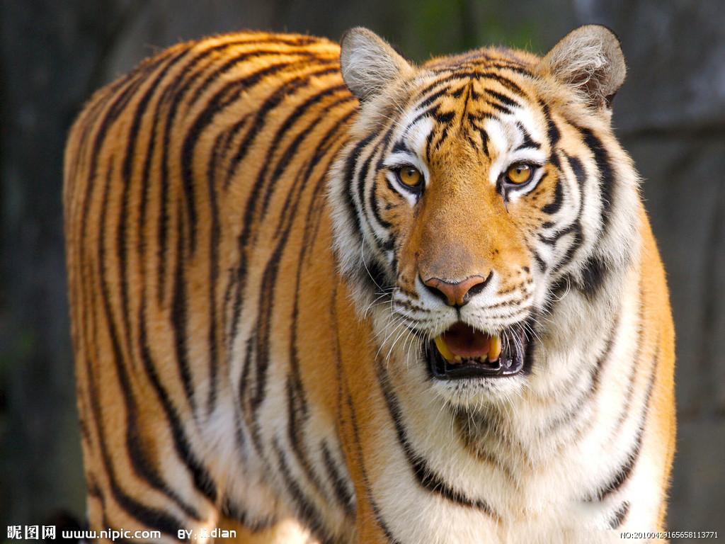 老虎头绘画步骤