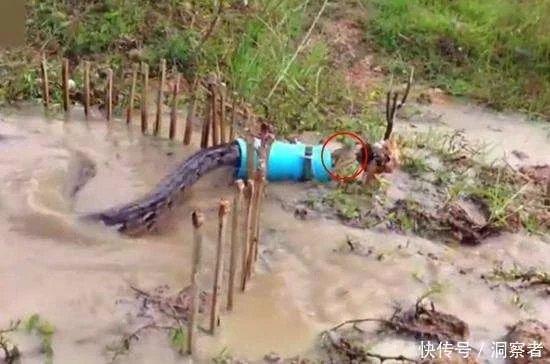 大蟒蛇发现前面有只小鸡, 穿过塑料管突然袭击, 结果刚张开嘴就悲剧了