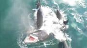 鲸鱼被围攻鲜血瞬间喷出