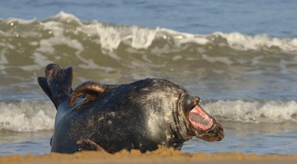 开心到飞起!摄影师拍英国海豹在海滩笑到打滚