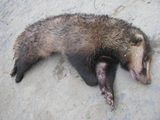 猪獾是保护动物