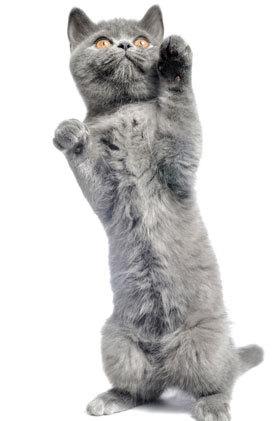 猫科动物在咪生气时,经常会做这样一个动作