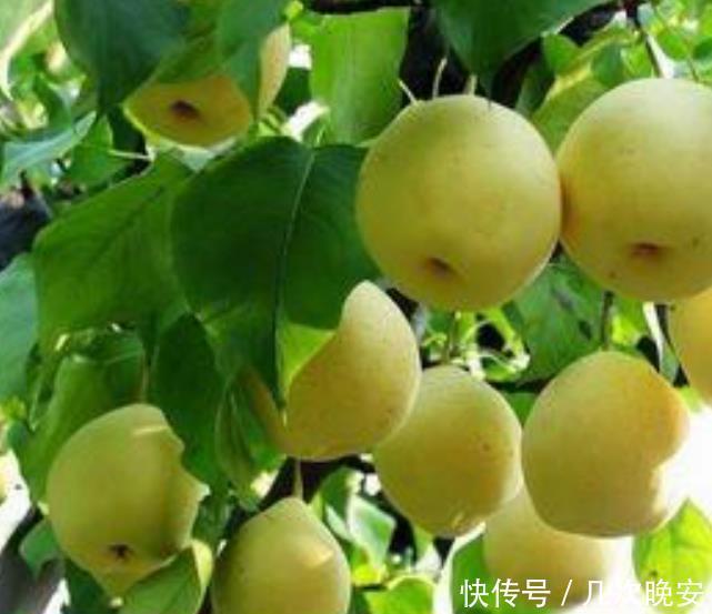 它是甘肃最佳品种的梨,冬季煮熟吃香甜可口又暖胃,南方人没吃过
