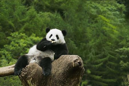 壁纸 大熊猫 动物 451_300