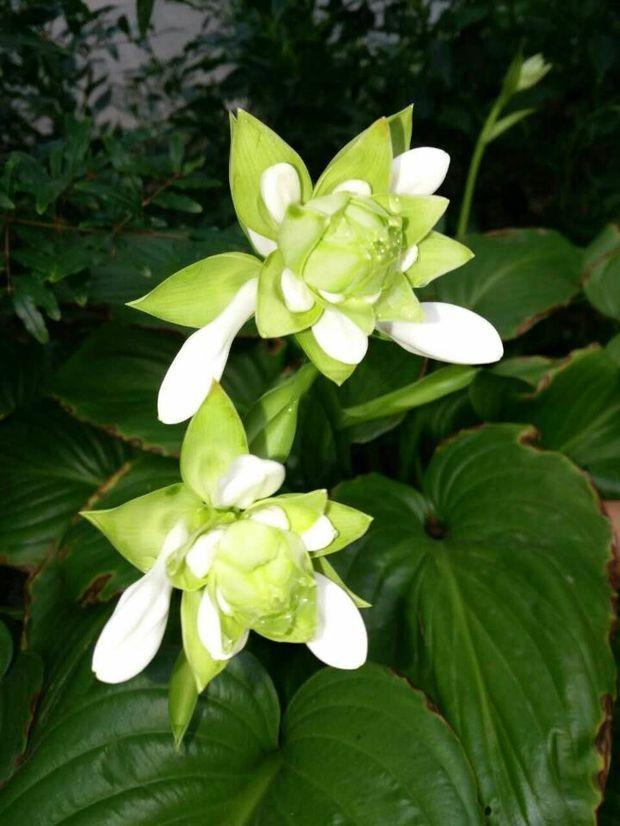 叶茎生成丛,心状卵圆形,具长柄,叶脉弧形.