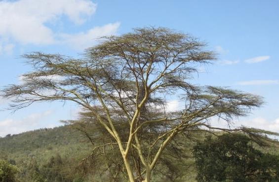 金合欢树花含芳香油,为高级香精原料;果荚