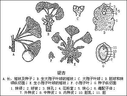 小孢子叶球顶生小孢子叶球纵切图