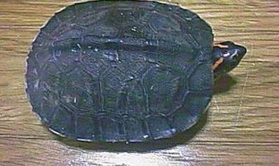 盖亚那红头木颈龟