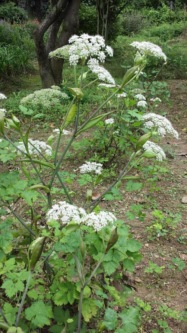 请问这开小白花的是什么植物?