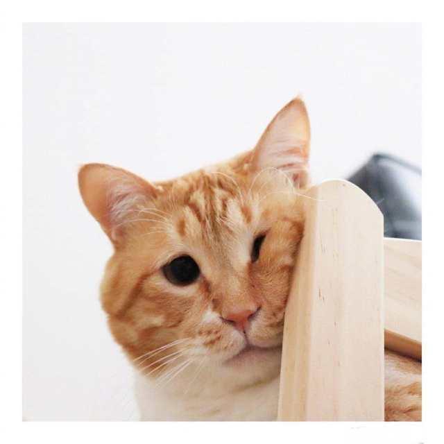 有一只橘猫算了关键,胖也就走红,网络吻的动图表情图片大全集是还长着图片