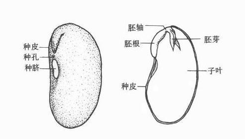 观察大豆种子的内部结构
