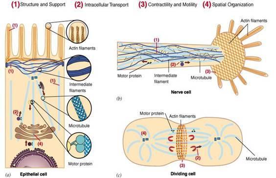 细胞蛋白提取步骤