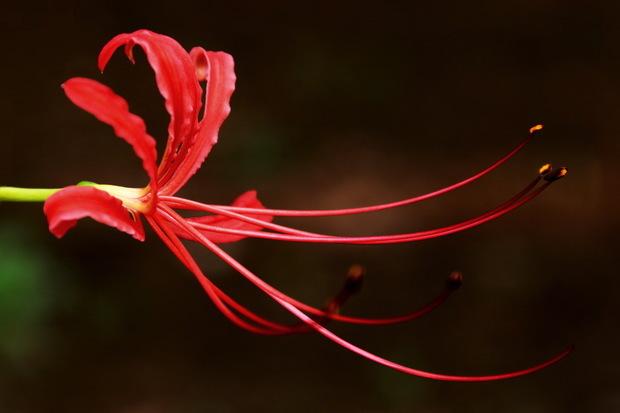 是红色的彼岸花才叫曼珠沙华吗?