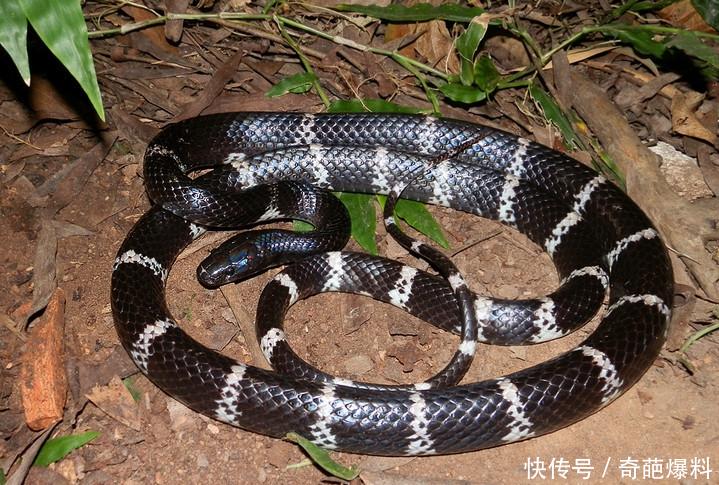 中国第一毒蛇,贝爷都害怕他,你觉得平头哥敢惹他吗?