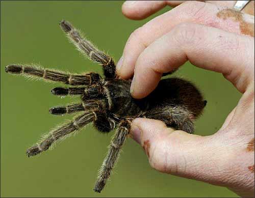 简介折叠 编辑本段 狼蛛属节肢动物门,蛛形纲动物,能捕杀害虫,是有益