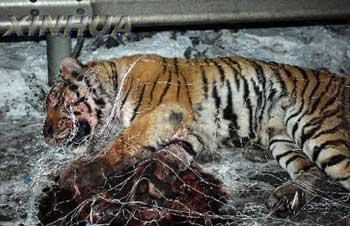 麻醉人员讲述围捕东北虎细节:20米外发射3针,老虎被击中时咆哮