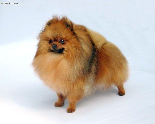 什么狗最聪明,最忠诚,最可爱【大眼睛】,最适合女孩