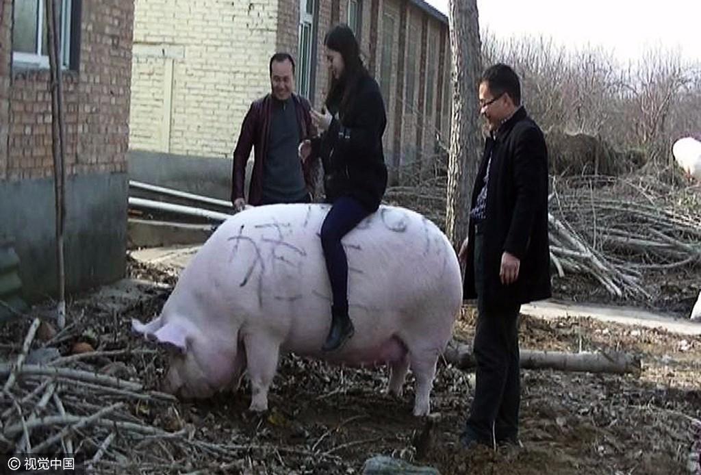 """【转】北京时间     郑州:1500斤""""猪王""""能当牛骑 - 妙康居士 - 妙康居士~晴樵雪读的博客"""