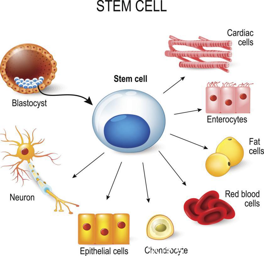 干细胞或将引领21世纪新潮流