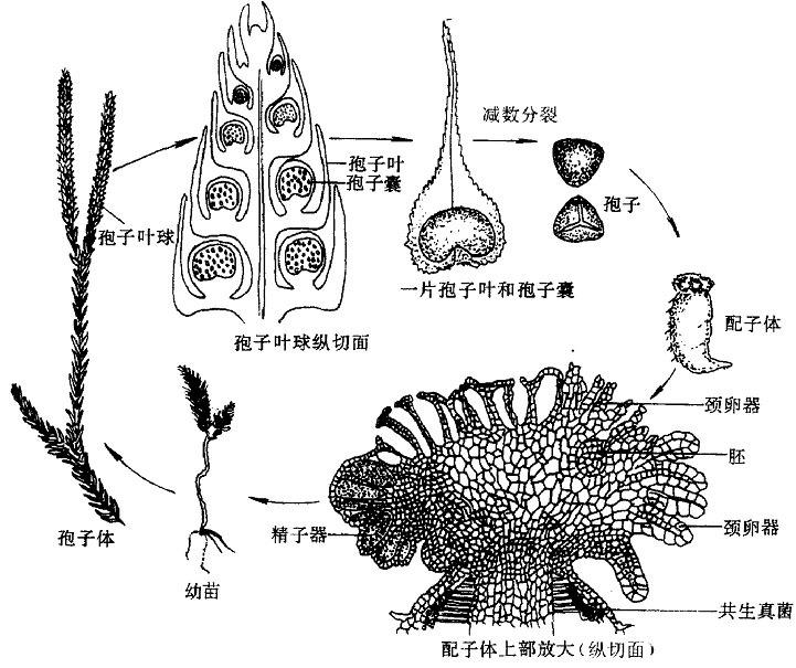 小分生孢子手绘图片