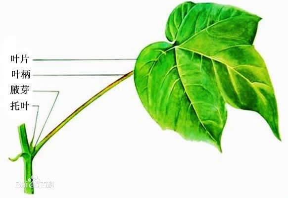 一片完整的树叶由哪三部分构成