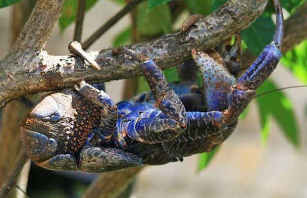 脚和手都是钳子的动物像螃蟹但是比螃蟹大