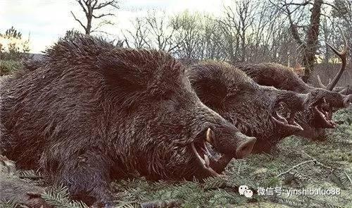 美国盛产大野猪屡剿不灭:中国吃货不服 - 一统江山 - 一统江山的博客