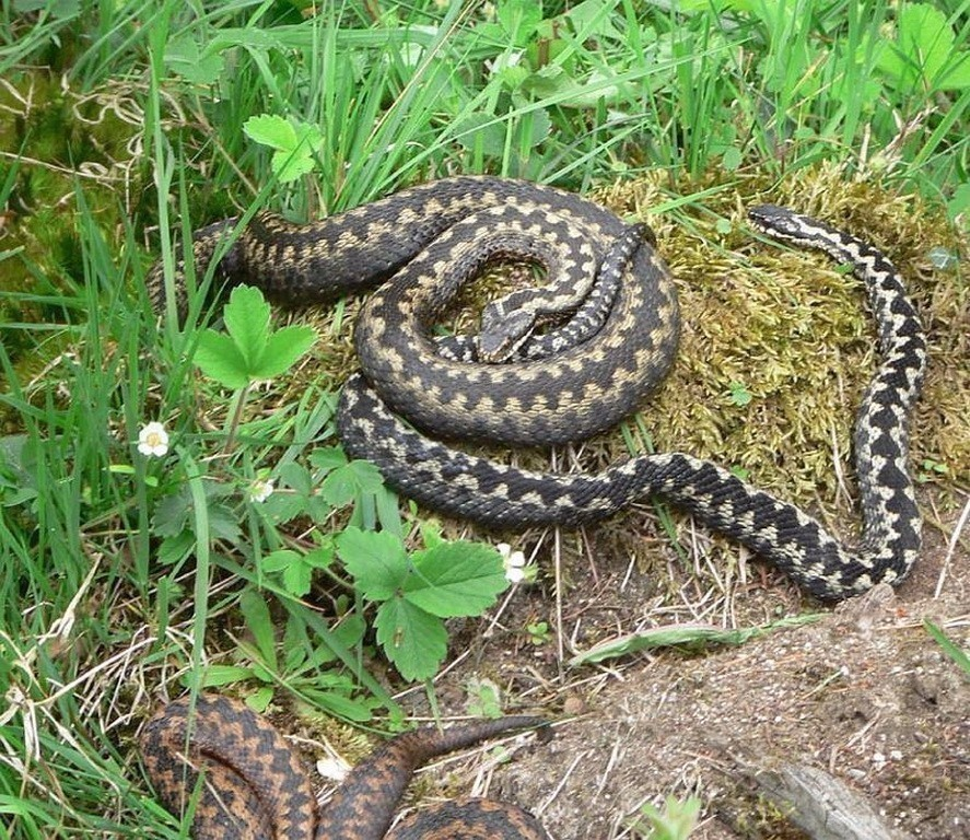 亚马逊丛林中藏匿的毒蛇.