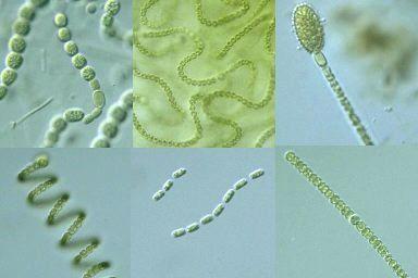 丝状固氮蓝藻中的鱼腥藻可从营养细胞分化产生具有